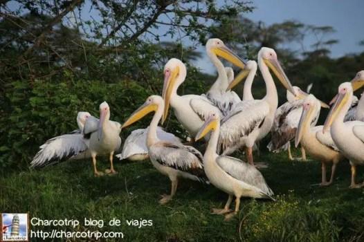 pelicanos-naivasha1