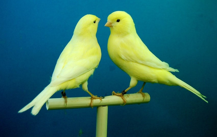Jenis Burung Kicau