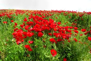 Flowering poppies in the Negev, Israel.