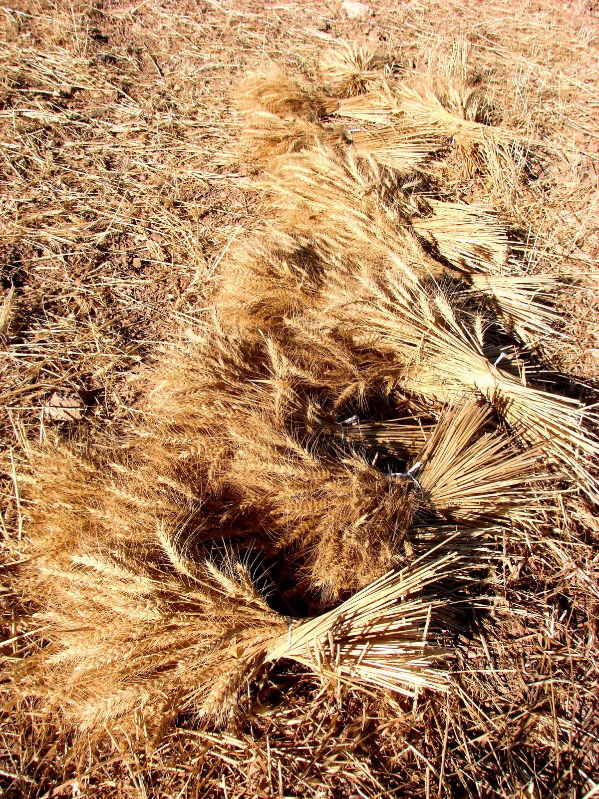 Wheat sheaves in a field on Moshav Naham.