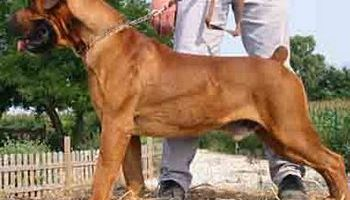 homestead – Four large dog breeds to consider for homestead