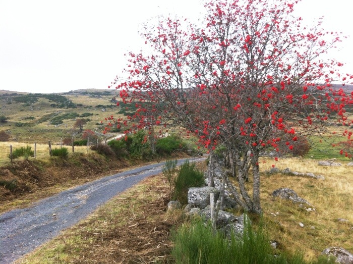 Sorbus between Aumont Aubrac and Nasbinals on the Way of St James, photographed by Charles Hawes. Route St Jacques. GR65