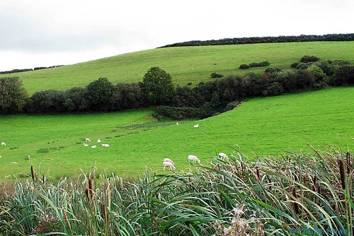 Field with sheep on the Wales Coast Path between Kidwelly and Carmarthen, photographed by Charles Hawes. Walking in Wales.