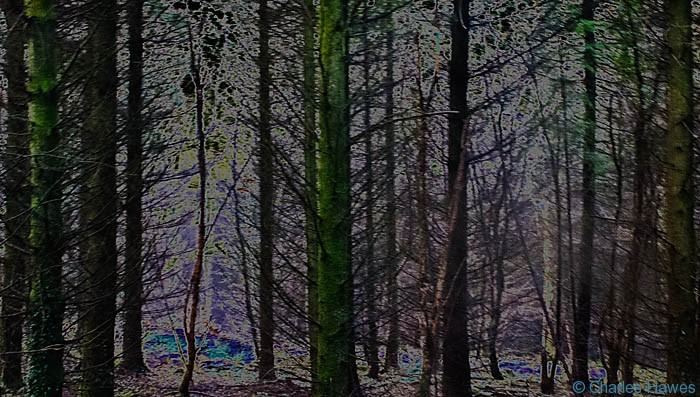 Solarised image of trees in Fedw Wood near Devauden, Monmouthshire, photographed by Charles Hawes. Walking in Wales.