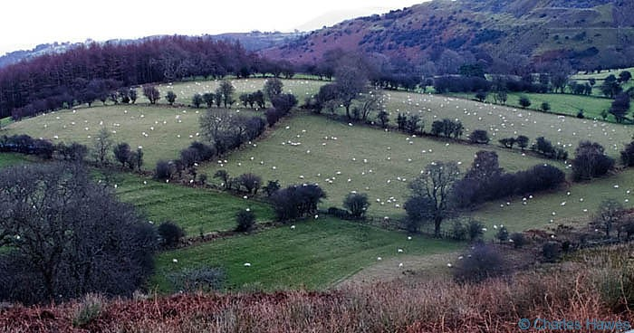 Shhep at dusk on hills near llangattock Powys, photographed by Charles Hawes
