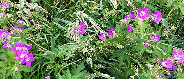 Geranium by the path of The dales way, photographed by Charles Hawes
