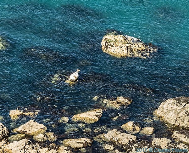 Seal on a rock near Carreg Wastad Point, Pembrokeshire, photographed by Charles Hawes