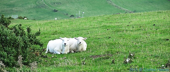 Sheep above Yns Loctyn in Ceredigion, photographed from The Wales Coast Path by Charles Hawes