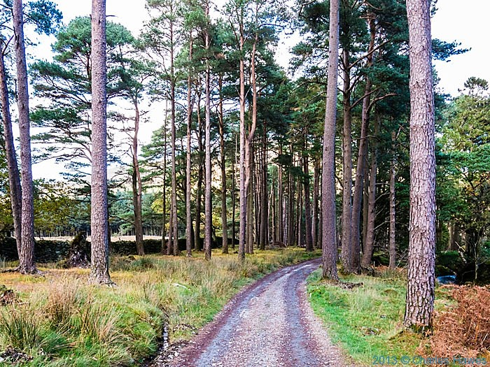 Pine wood outside Beddgelert, Snowdonia on path to Moel Heborg, photographed by Charles Hawes