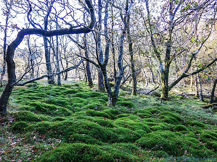 Mossy wood near Beddgelert, Snowdonia, photographed by Charles Hawes