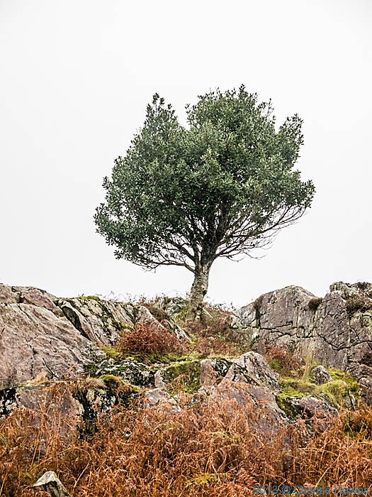 Holly in moor above Nantmor, Snowdonia, photographed by Charles Hawes