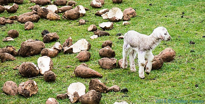 Newly born lamb at Glan y Mor farm, photographed from The Wales Coast Path by Charles Hawes