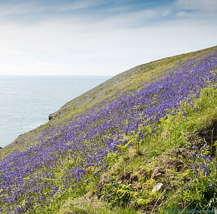 Bluebell covered cliff tops on the Lleyn peninsula near Mynydd Cilan, photographed by Charles Hawes