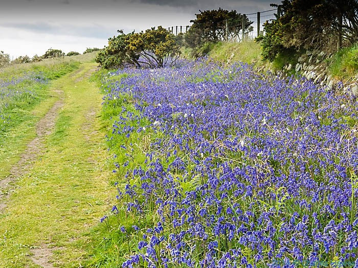 Bluebells by the Wales Coast Path on the Lleyn peninsula, photographed by Charles Hawes