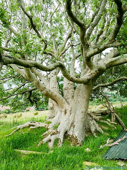 Pollarded Ash on the Wales Coast Path near Trefor, photographed by Charles Hawes