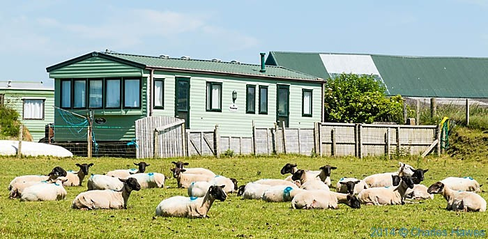 Sheep by the caravan site at Towyn, Lleyn peninsula, photographed by Charles Hawes