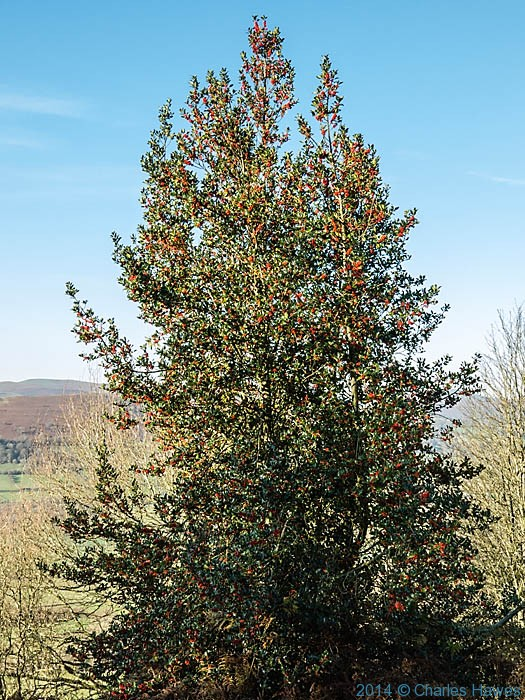 Holly at the base of The Skirrid (Ysgyryd Fawr), Monmouthshire,  photographed by Charles Hawes