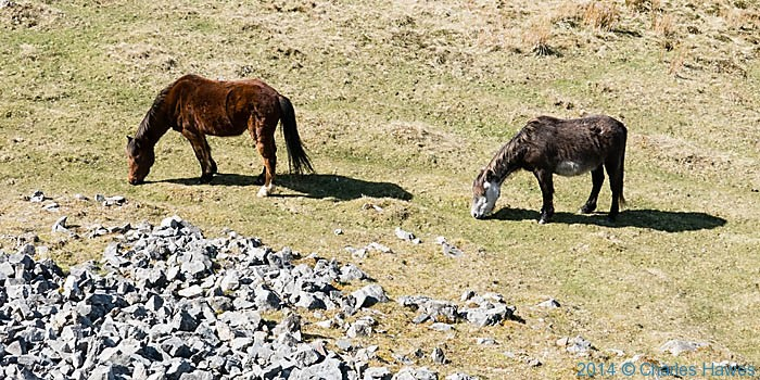 wild horses near Cribarth in the Brecon Beacons, photographed by Charles Hawes