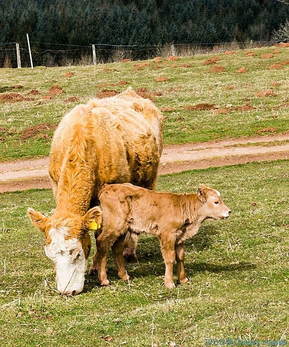 Cattle near Cefn Onn farm. Rhymney Valley Rideway Walk, photographed by Charles Hawes
