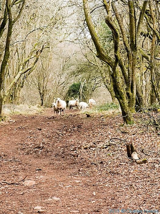 Sheep in Coed Cefn Onn , photographed on the Rhymney Valley Ridgeway Walk by Charles Hawes