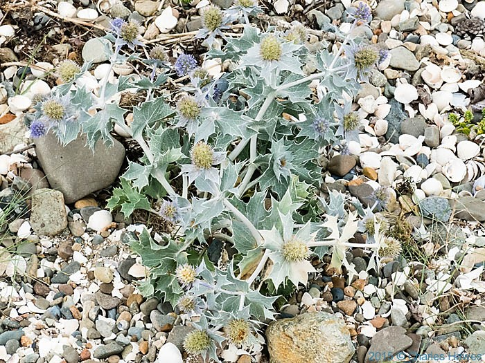 Sea Holly in beach near Abergwyngregyn, photographed from the Wales Coast Path by Charles Hawes