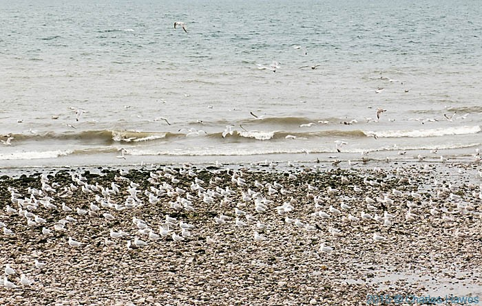 Massed gulls at the confluence of the River Dulas and the sea, photographed from The Wales Coast Path by Charles Hawes