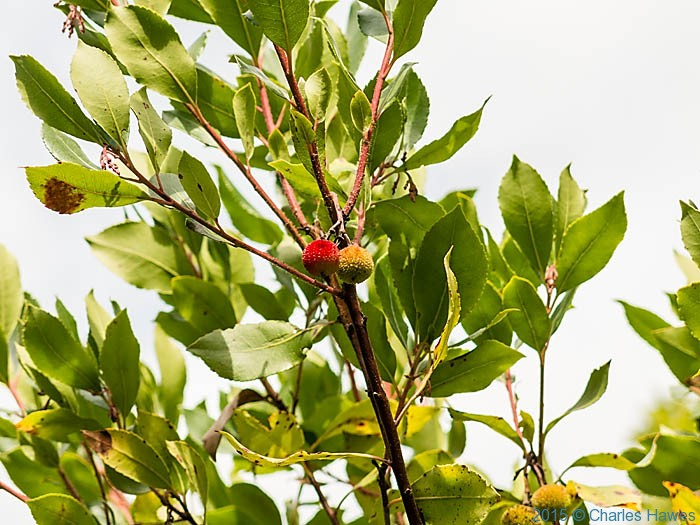 Arbutus unedo, in woods near Badia a Passignano, Tuscany, photographed by Charles Hawes