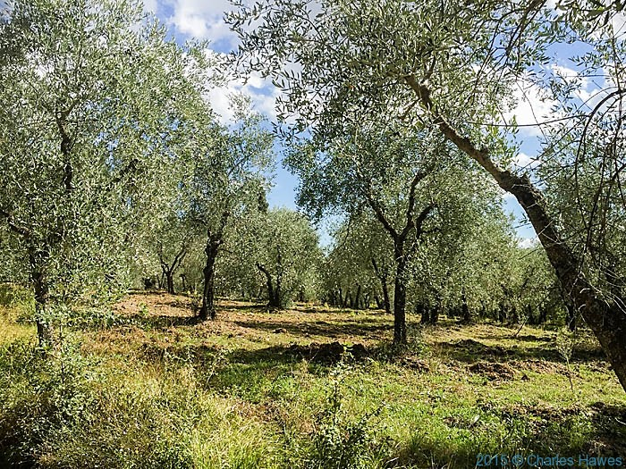 Olive grove outside Pienza, photographed by Charles Hawes