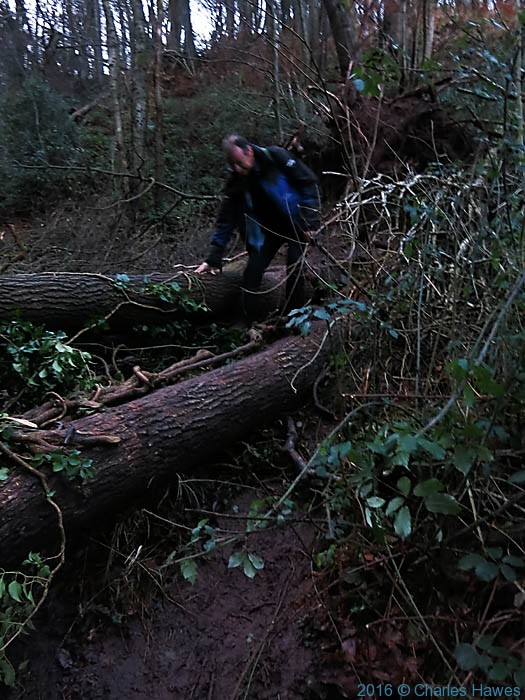 Trees blocking footpath up Blorenge, photographed by Charles Hawes