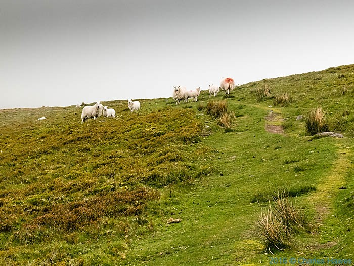 Sheep on the Cambrian Way near Pen Allt Mawr, photographed by Charles Hawes