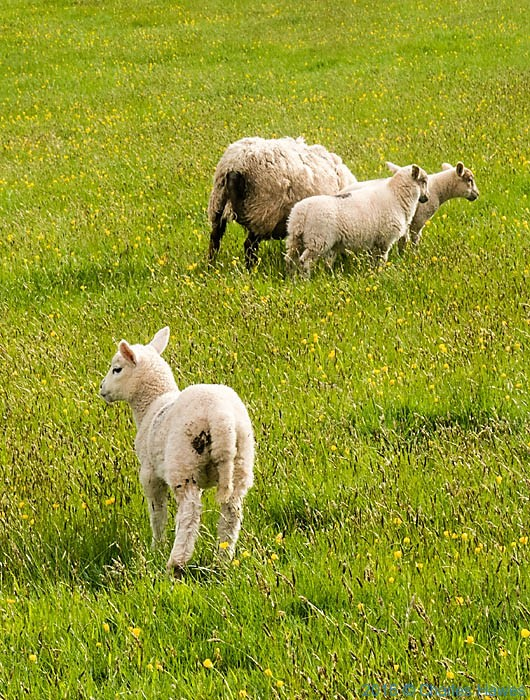 Lambs in field near Crickhowell, photographed from the Cambrian Way by Charles Hawes