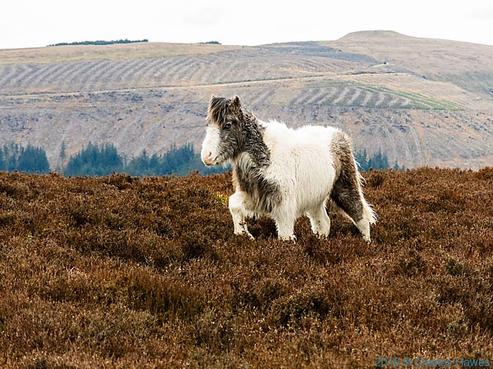 Wild Horse on the Cambrian Way in Monmouthshire, photographed by Charles Hawes