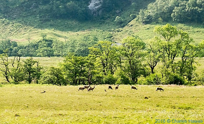 Herd of deer on Knoydart penisula, Scotland, photographed by Charles Hawes
