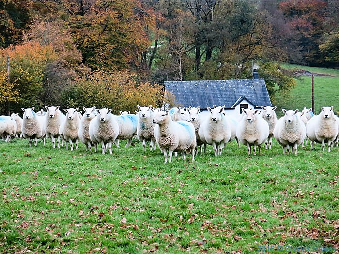 Sheep near Llandovery, Carmarthenshire, photograpged from The Cambrian way by Charles Hawes
