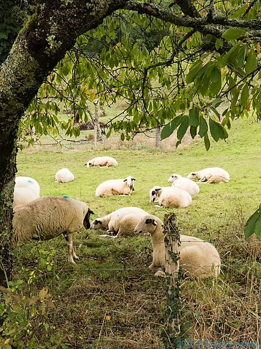 Sheep near Saint Jean Lespinasse, France, photographed by Charles Hawes