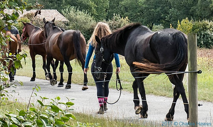 Horses near Roussayrolles France, photographed by Charles Hawes