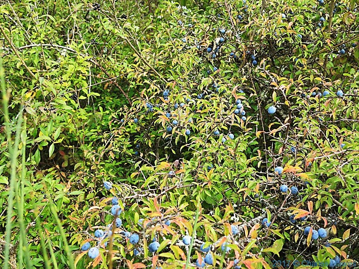 Sloe in hedgerow near Cordes sur Ciel, photographed from the GR46 by Charles Hawes