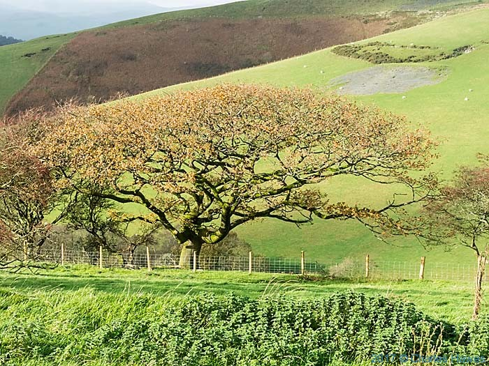 Oak tree on the Cambrian Way near Commins Coch, photographed by Charles Hawes
