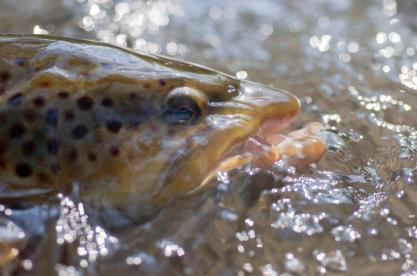 Brown trout, September 1, 2012
