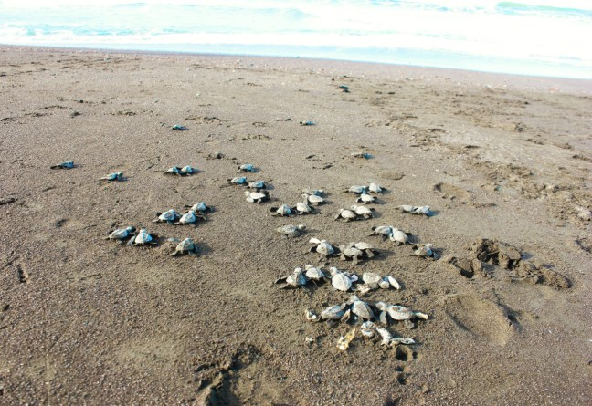 Lots of baby turtles going into the sea Arribada in Ostional - Charlie on Travel
