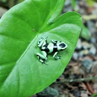 Green and black dart frog living at La Kukula Eco-Lodge in Costa Rica
