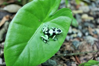 Green and black dart frog living at La Kukula Eco-Lodge in Costa Rica