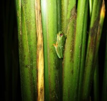 Tree frog on bamboo feature - Charlie on Travel