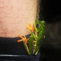 Red eye tree frog jumped on Luke's leg!