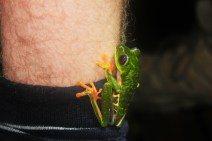 Red eye tree frog jumped on Luke's leg!
