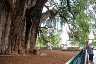 Oaxaca Mexico Tule Tree 1 - Charlie on Travel