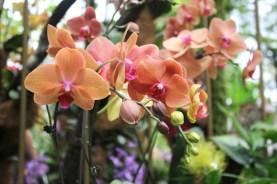 Pink orchids Singapore botanic gardens