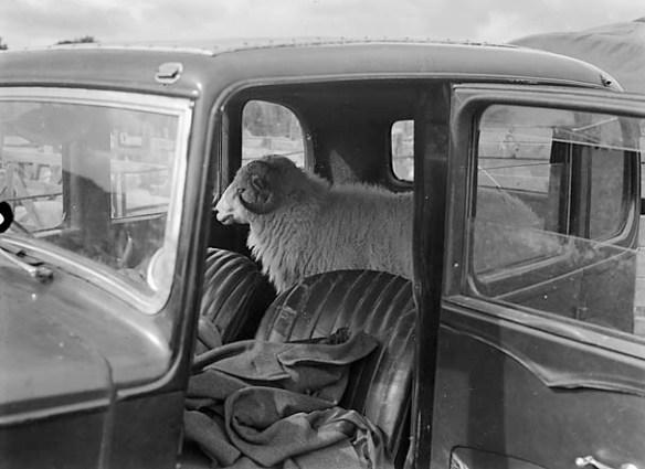 Ja tu pitu, pitu o książce, a tu macie w samochodzie owcę. Źródło: https://flic.kr/p/nSw8vV