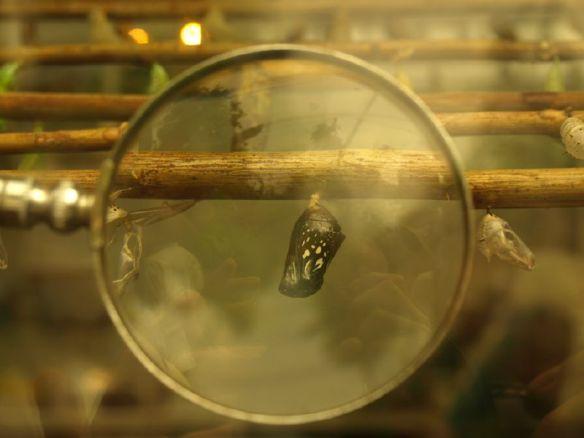 Kokon z poczwarką. Takie zdjęcie z Flickra. Źródło: https://flic.kr/p/525PwA