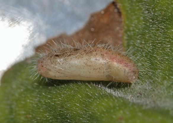 Poczwarka Cacyreus marshalli. Źródło: https://flic.kr/p/dpeyTW